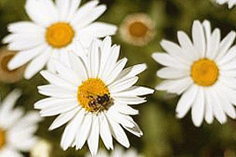 marguerites avec abeilles au printemps