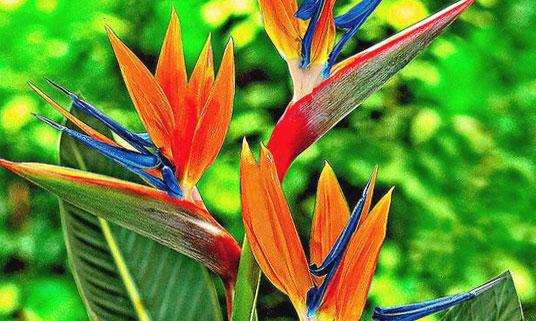 fleur exotique oranges bleues et vertes