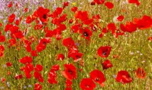 fleurs sauvages rouges et violettes dans un champs