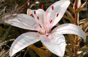 fleurs de lys gros plan