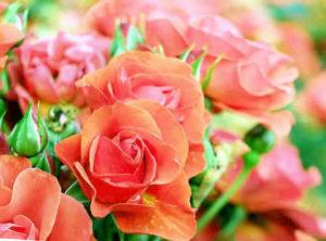 zoom sur des roses