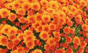 plein de chrysanthèmes