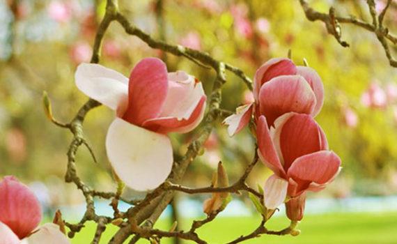 magnolias dans un arbre